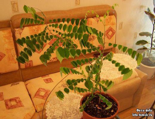 Карамбола выращивание в домашних условиях 42