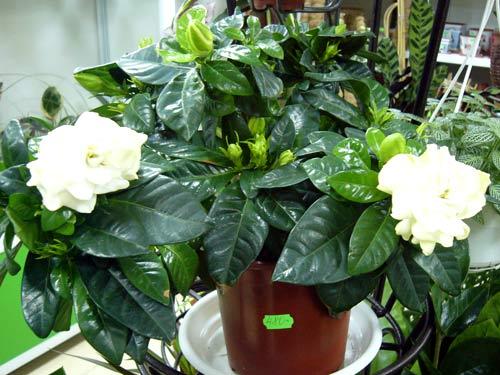 Домашний жасмин цветок