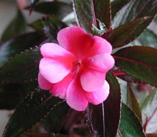 Impatiens 'New Guinea'