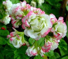 Pelargonium zonale 'Appleblossom Rosebud'