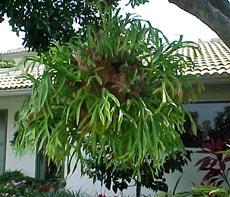 P. bifurcatum