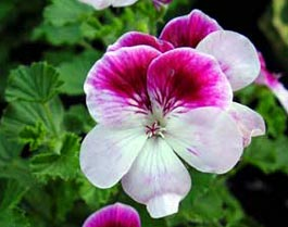 Pelargonium angel 'Captain Starlight'