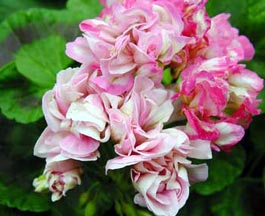 Pelargonium deacon 'Lilac Mist'