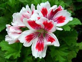 Pelargonium domesticum 'Fringed Aztec'