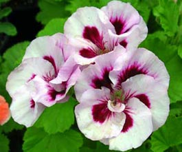 Pelargonium domesticum 'Geoffrey Horsman'