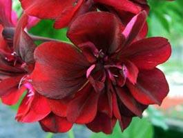 Pelargonium peltatum 'Le Pirat'