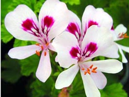 Pelargonium 'Lemon Fancy'