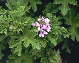Pelargonium graviolens