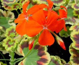Pelargonium zonale 'Contrast'